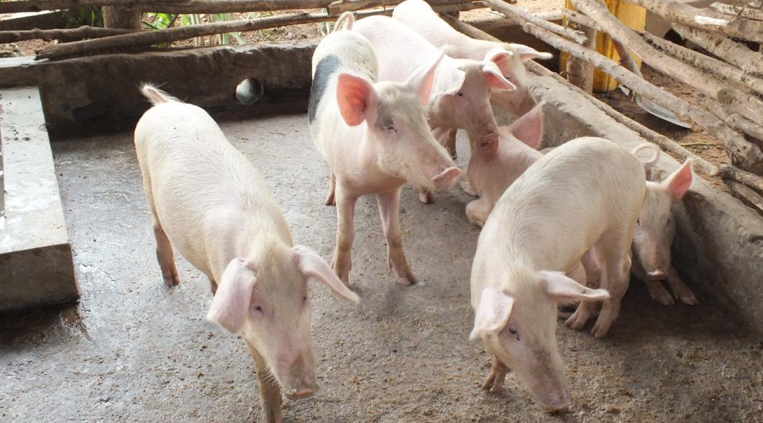 ガーナ獣医療インターンシップで訪問した牧場のブタ